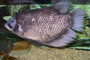 Usaha Budidaya Ikan Gurame Rumahan bagi Pemula