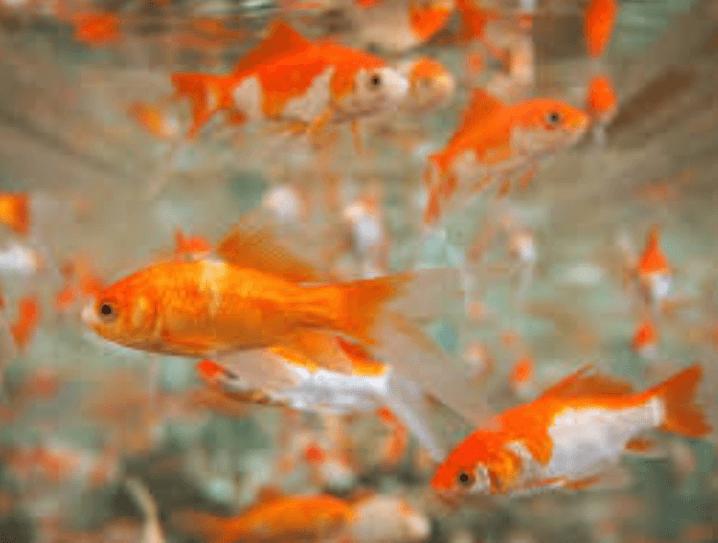 Usaha-Budidaya-Ikan-Hias-yang-Menguntungkan